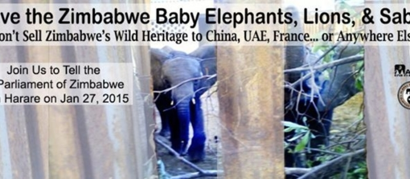 PROTEST TO SAVE THE KIDNAPPED BABY ELEPHANTS, LIONS AND SABLE. - Harare, Zimbabwe