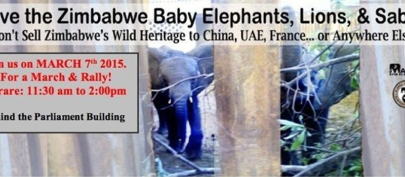 March & Rally to SAVE THE KIDNAPPED BABY ELEPHANTS, LIONS AND SABLE - Harare, Zimbabe