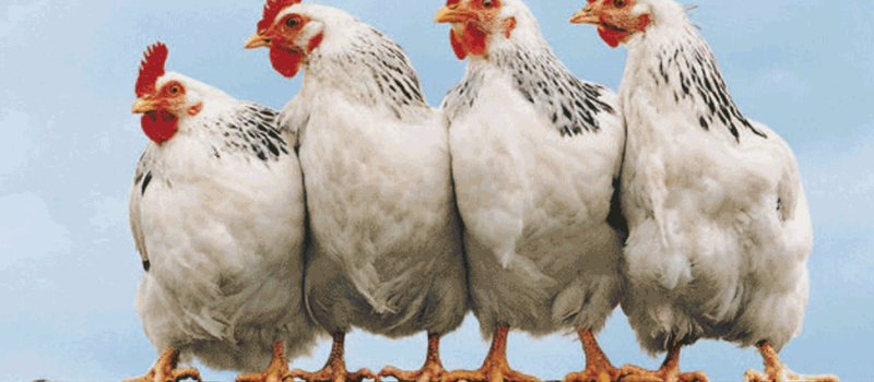 Aviana Africa 2015 Livestock & Poultry Expo